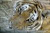 01-10-18_Harbin_Wildpark_Tiger_ganz_nach_durch_Gitter.JPG